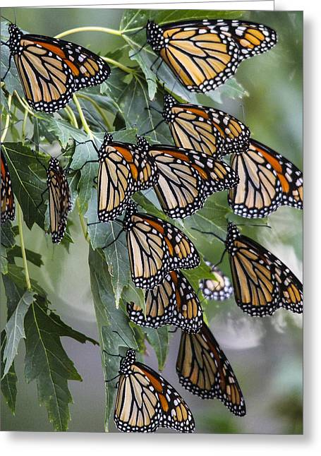 Monarch Migration Greeting Card