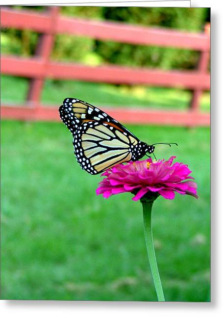 Greeting Card featuring the photograph Monarch  by Natasha Denger