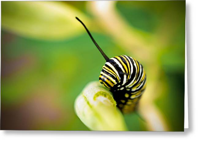 Greeting Card featuring the photograph Monarch Offspring Squared by TK Goforth
