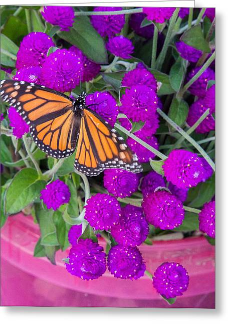 Monarch On Bachelor Buttons Greeting Card