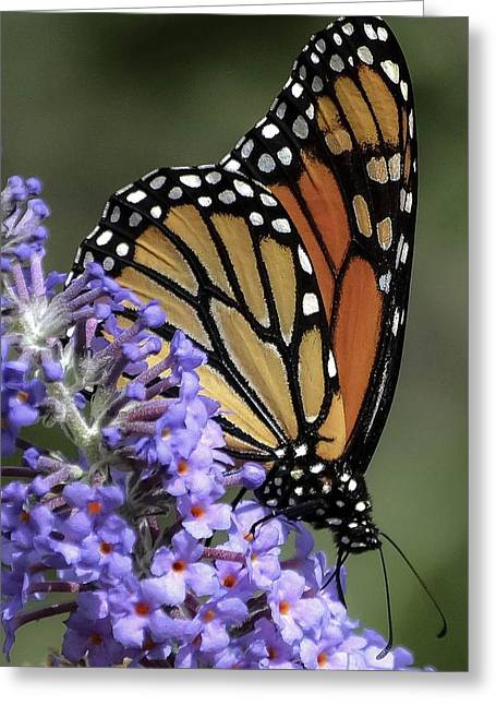Monarch On Butterfly Bush-edition  3 Of 40 Greeting Card