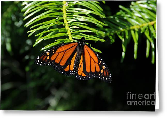 Monarch On Evergreen Greeting Card