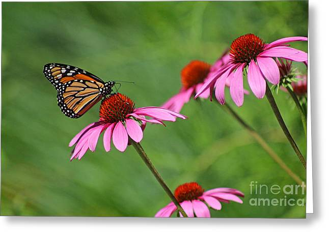 Monarch On Garden Coneflowers Greeting Card