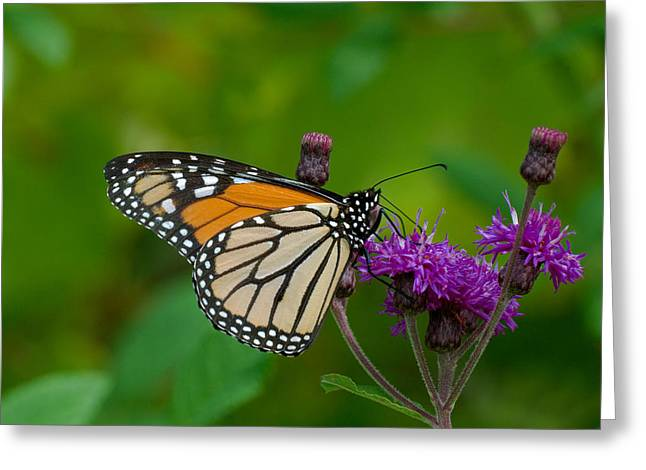Monarch On Iron Weed Greeting Card