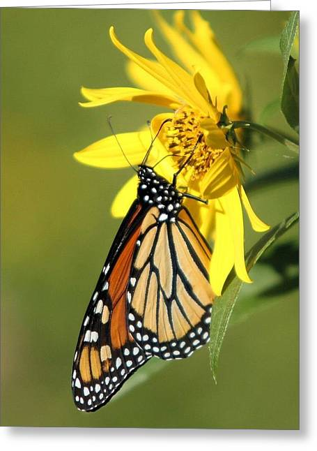Monarch On Jerusalem Artichoke Greeting Card