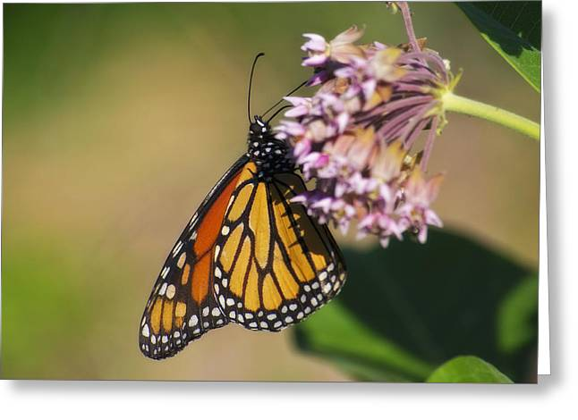Monarch On Milkweed Greeting Card by Shelly Gunderson