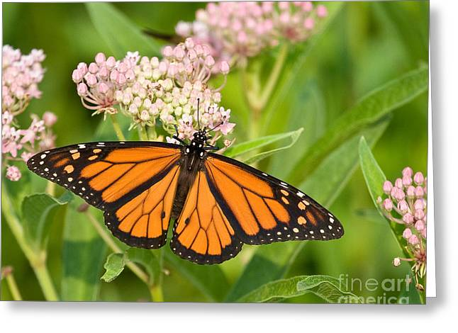 Monarch On Pink Greeting Card