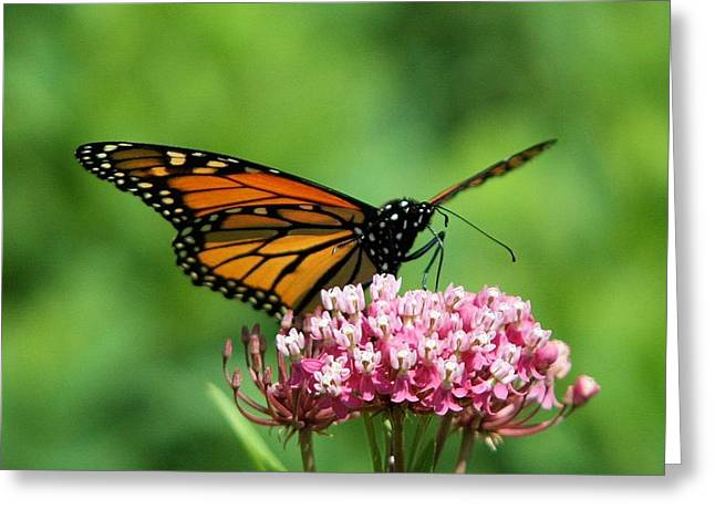 Monarch On Pink Wildflower Greeting Card