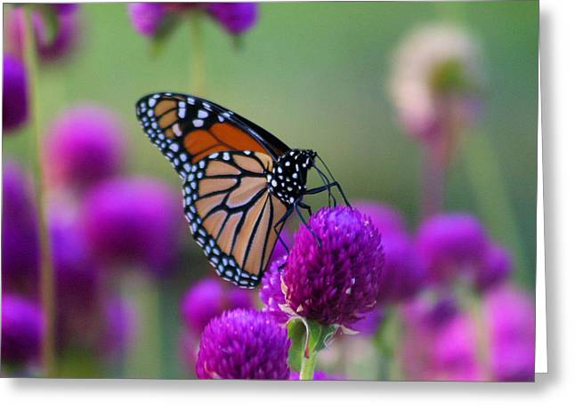 Monarch On Purple Flowers Greeting Card