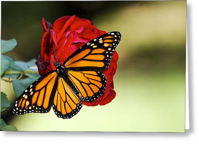 Monarch On Rose Greeting Card by Debbie Karnes