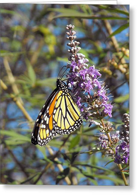 Monarch On Vitex Greeting Card by Jayne Wilson