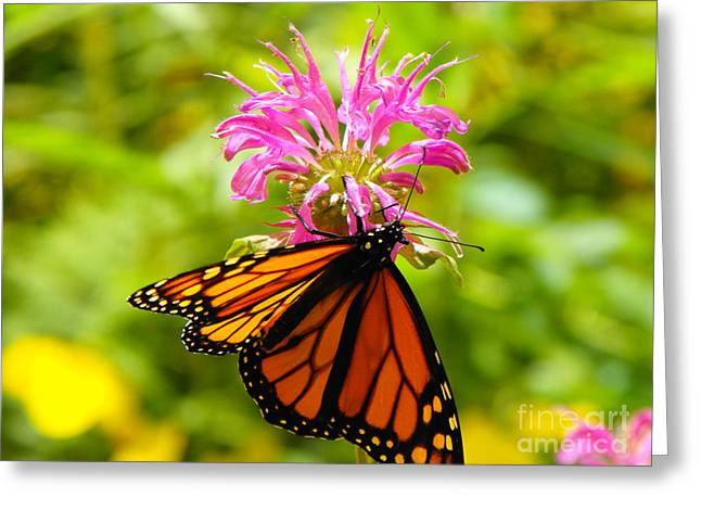 Monarch Under Flower Greeting Card by Erick Schmidt