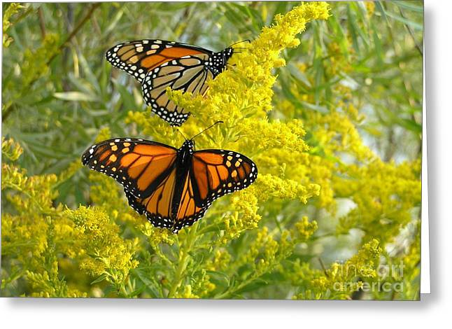 Monarchs On Goldenrod Greeting Card