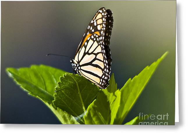 Monark Butterfly No. 2 Greeting Card