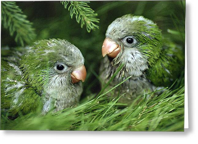 Monk Parakeet Chicks Greeting Card by Paul J. Fusco