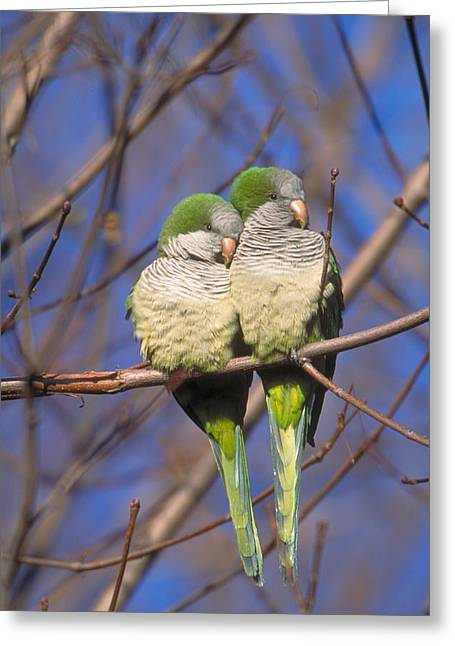 Monk Parakeets Greeting Card