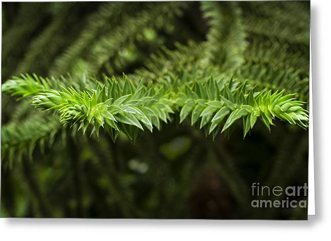 Greeting Card featuring the photograph Monkey Puzzle by Maria Janicki