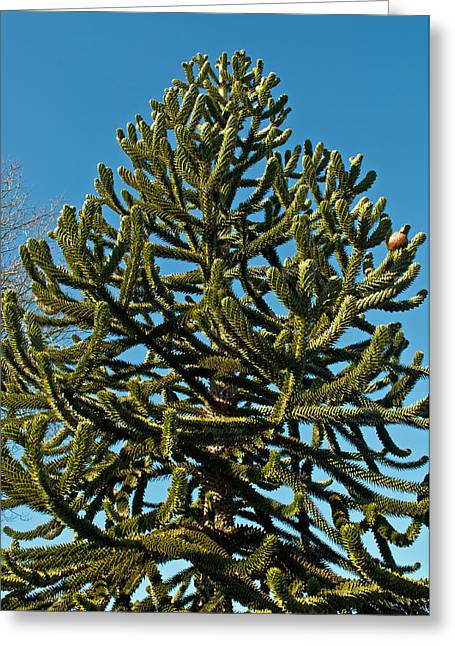 Monkey Puzzle Tree E Greeting Card by Tikvah's Hope