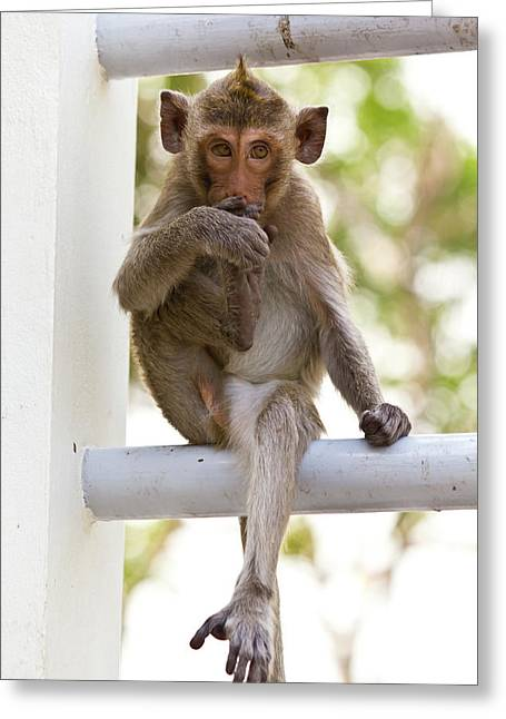 Monkeys Cute Sitting On A Steel Fence Greeting Card