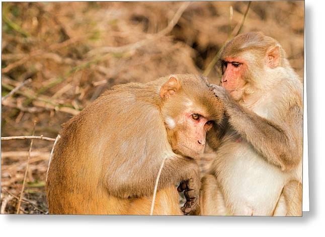 Monkeys Keoladeo Ghana National Park Greeting Card