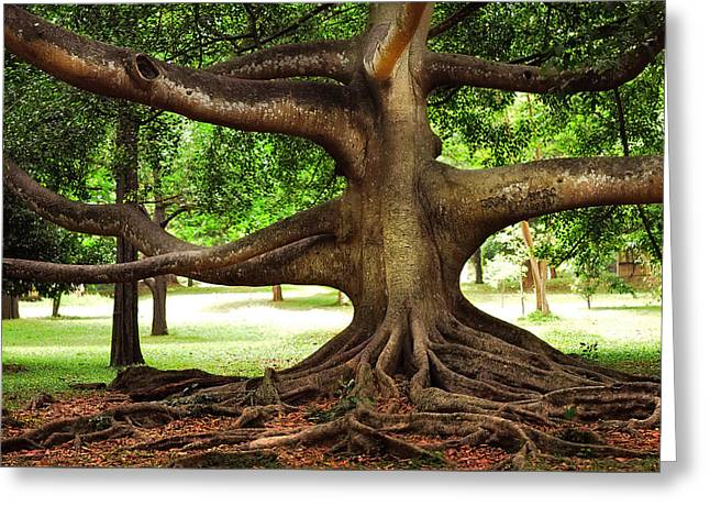 Monster Tree. Old Fig Tree In Peradeniya Garden. Sri Lanka Greeting Card by Jenny Rainbow