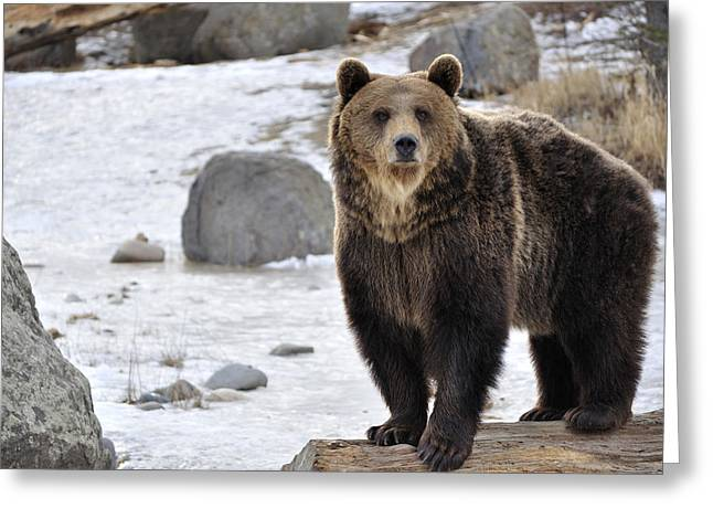 Montana Grizzly  Greeting Card by Fran Riley