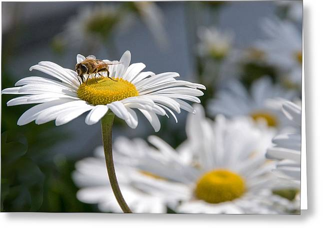 Montauk Daisy With Bee  Greeting Card by Bob Mulligan