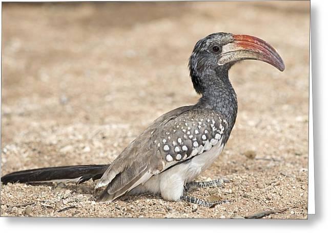 Monteiro's Hornbill Foragin Greeting Card