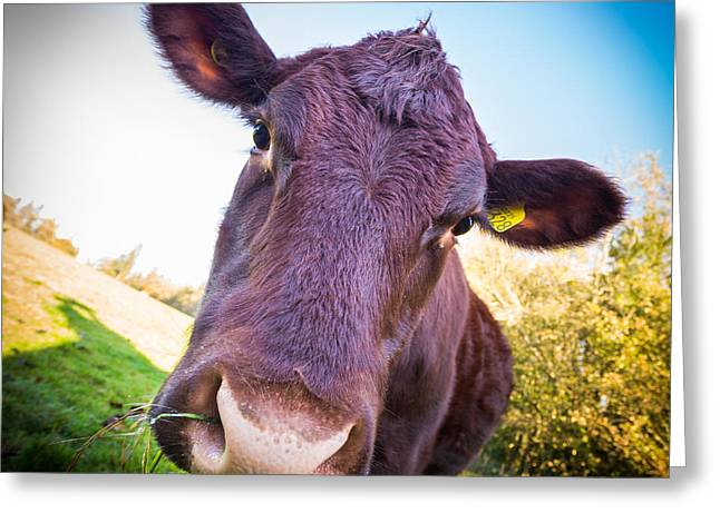 Moo Cow Greeting Card by Gary Gillette