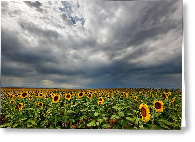 Greeting Card featuring the photograph Moody Skies Over The Sunflower Fields by Ronda Kimbrow