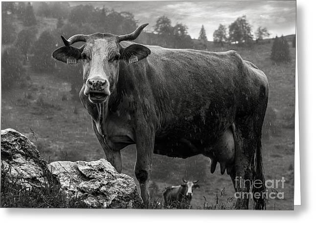 Mooing In The Rain Greeting Card by Vlad Dobrescu