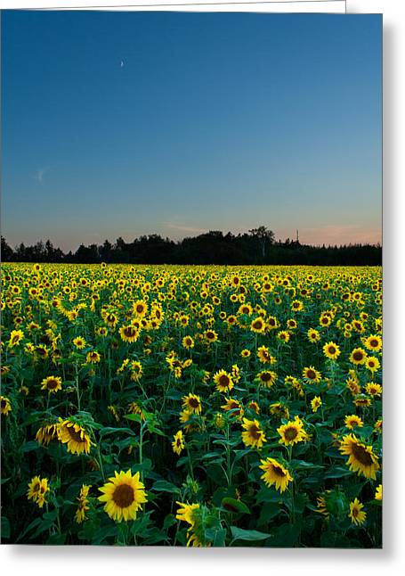 Moon And Sunflowers Greeting Card by Matt Dobson