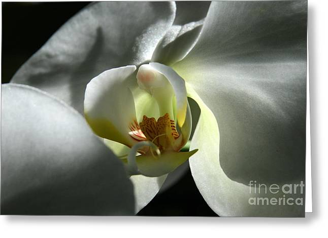 Moon Orchid In Shadow Greeting Card