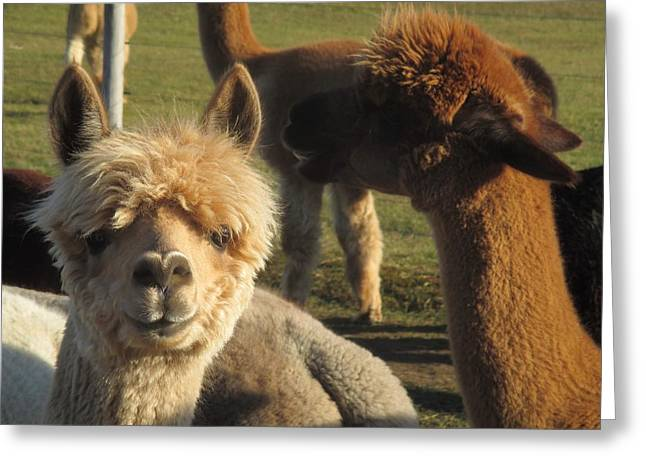 Moonacre Alpacas 2 Greeting Card
