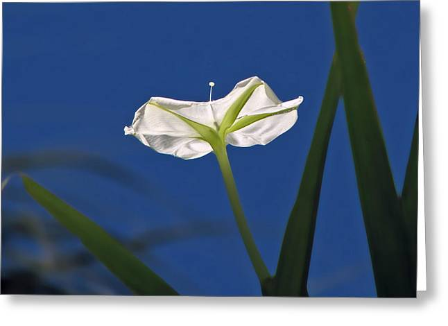 Moonflower Greeting Card by Peg Urban