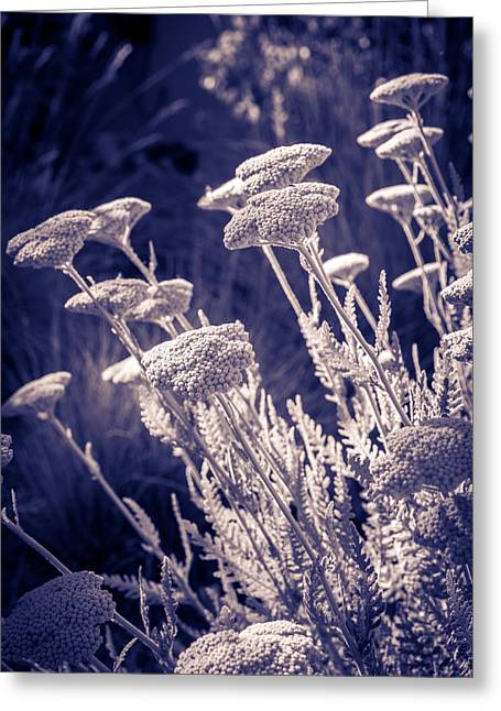 Moonlight Yarrow Greeting Card by Dave Garner