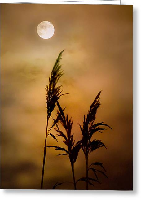 Moonlit Stalks Greeting Card by Gary Heller