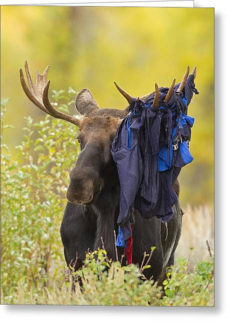 Moose 1 - Hammock 0 Greeting Card by Sandy Sisti