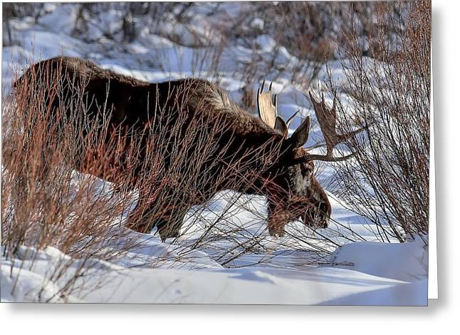 Greeting Card featuring the photograph Moose At Sunset In Winter by Yeates Photography
