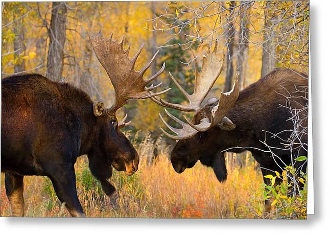 Moose Battle Greeting Card