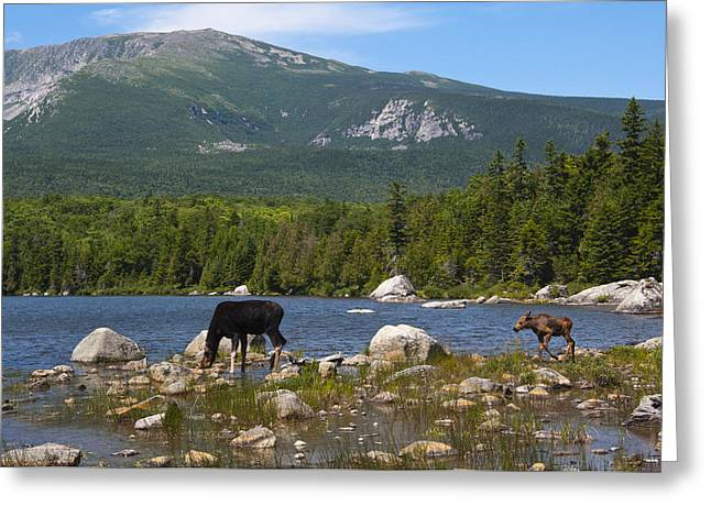 Moose Baxter State Park Maine Greeting Card