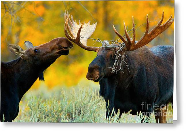 Greeting Card featuring the photograph Moose Be Love by Aaron Whittemore