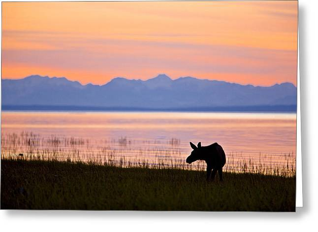 Moose Calf Feeding Along The Tony Greeting Card