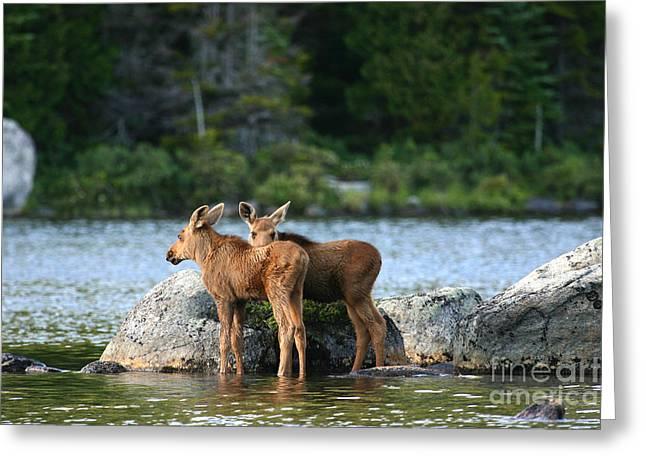 Moose Calves In Maine Greeting Card