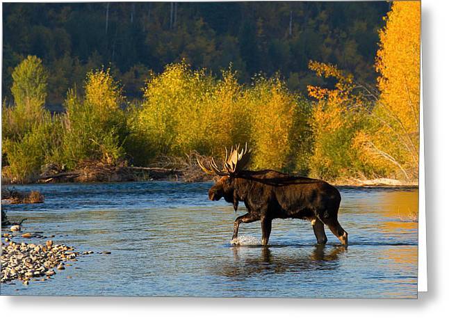 Greeting Card featuring the photograph Moose Crossing by Aaron Whittemore