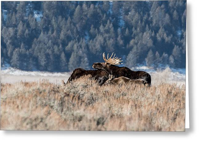 Greeting Card featuring the photograph Moose Family Pride by Yeates Photography
