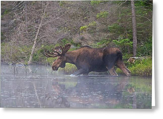Moose In The Mist Greeting Card