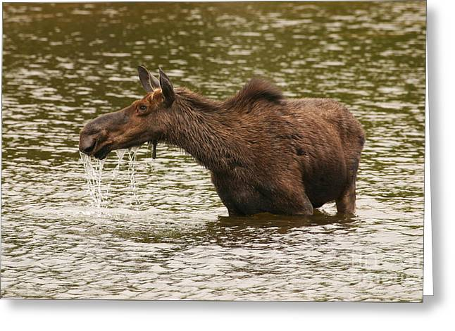 Moose In The Wilderness Greeting Card