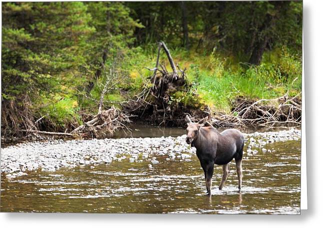 Moose In Yellowstone National Park   Greeting Card by Lars Lentz