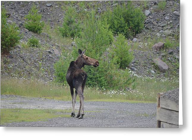Greeting Card featuring the photograph Moose by James Petersen